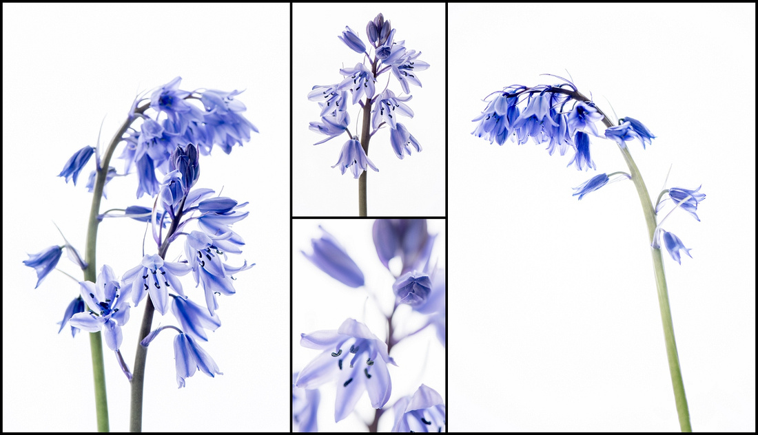 fine art floral photography, bluebells